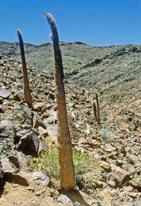 Pachypodium namaquanum